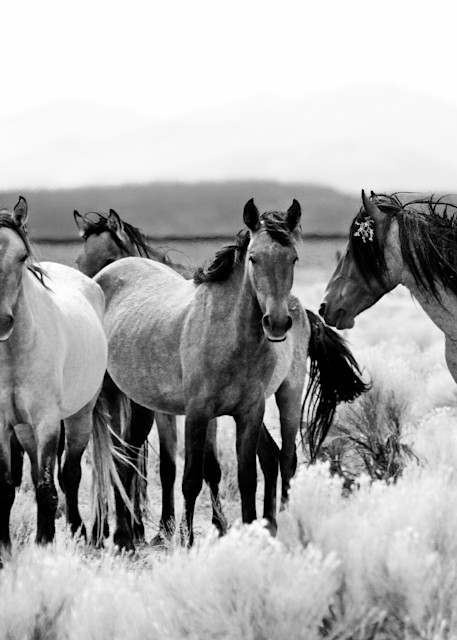 Wild Horse Herd in Nevada Black and White Print