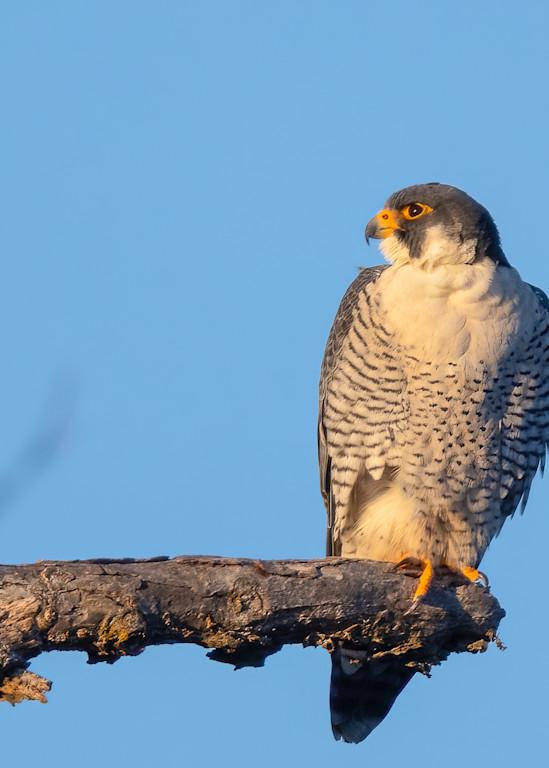Peregrine Falcon on a Perch