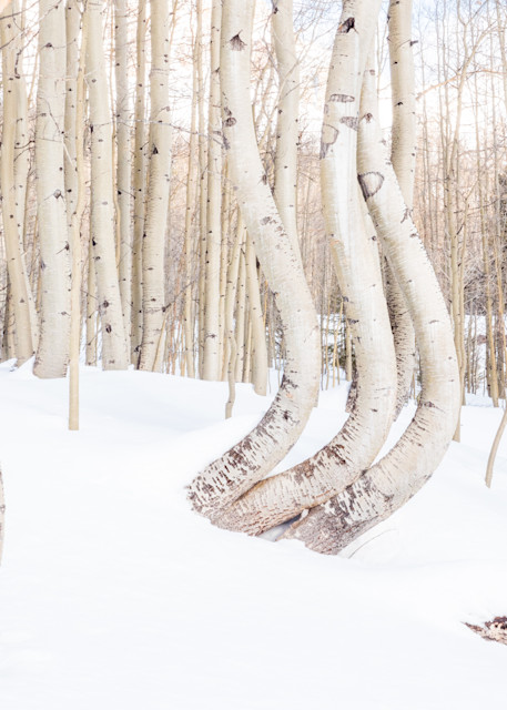 Dancing Aspen Trees In The Snow Photography Art | Peter Batty Photography