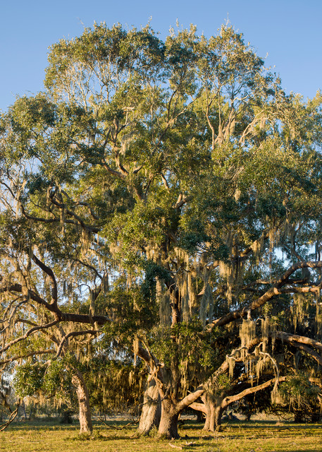 Live Oak Trees & Spanish Moss Pasture, Damon, Texas