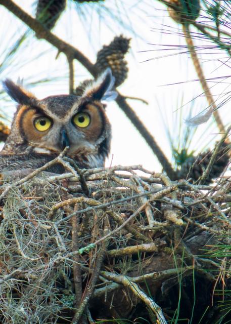 Female Great Horned Owl on Nest