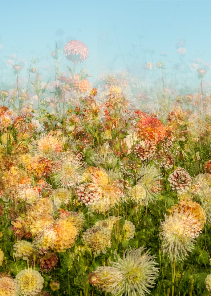 Dahlia Field Photography Art | Felice Willat Photography