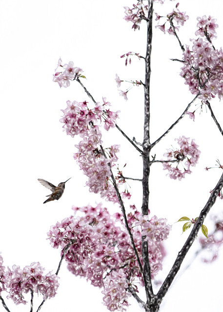Hummingbird And Cherry Blossoms Photography Art | Mindy Fine Art Photography