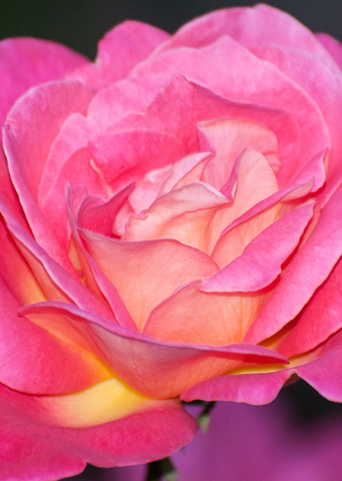 Pink Rose Reflection