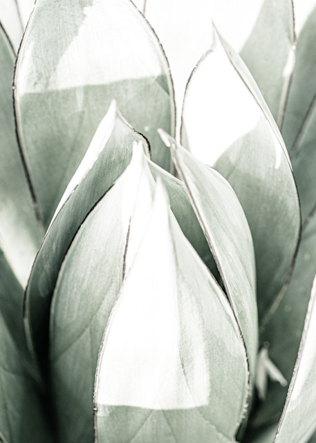 Agave Abstract - close up of cactus in Arizona photograph print