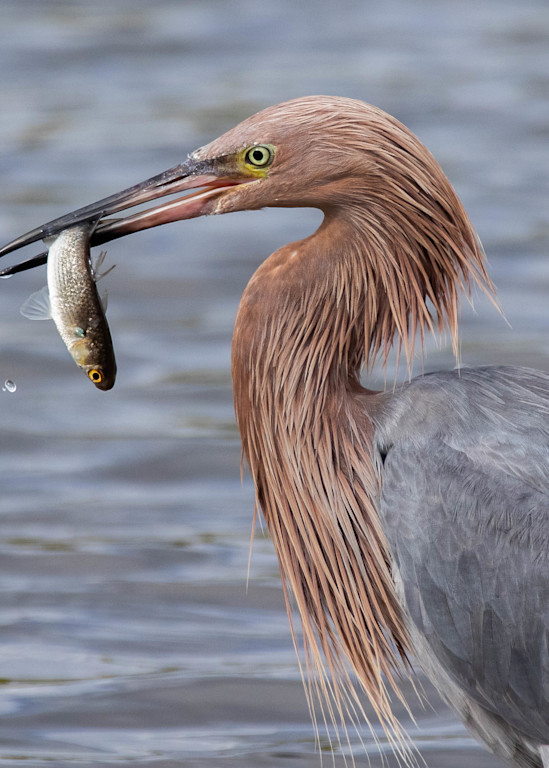 Reddish Egret With Fish Photography Art | Matt Cuda Nature Photography