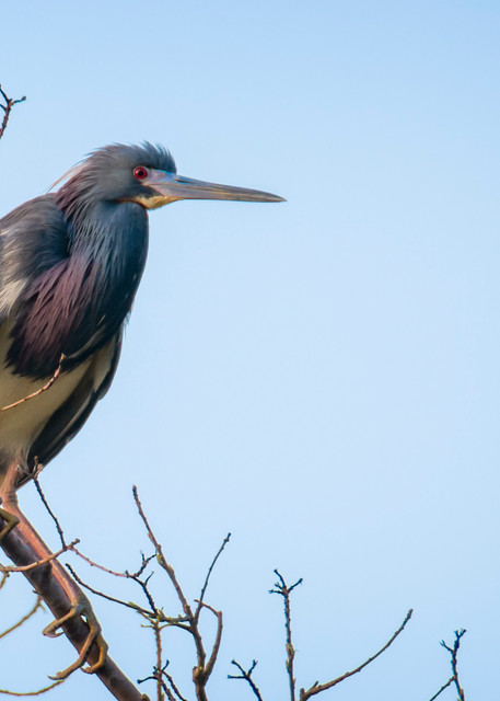 Tricolored Heron in Tree at Sunrise