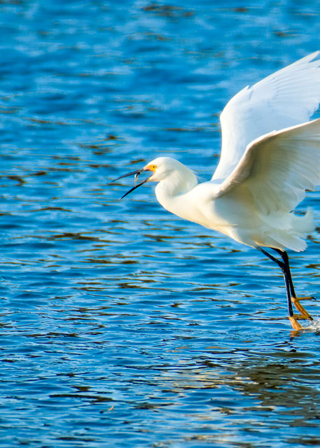 Snowy Egret in Flight with Fish
