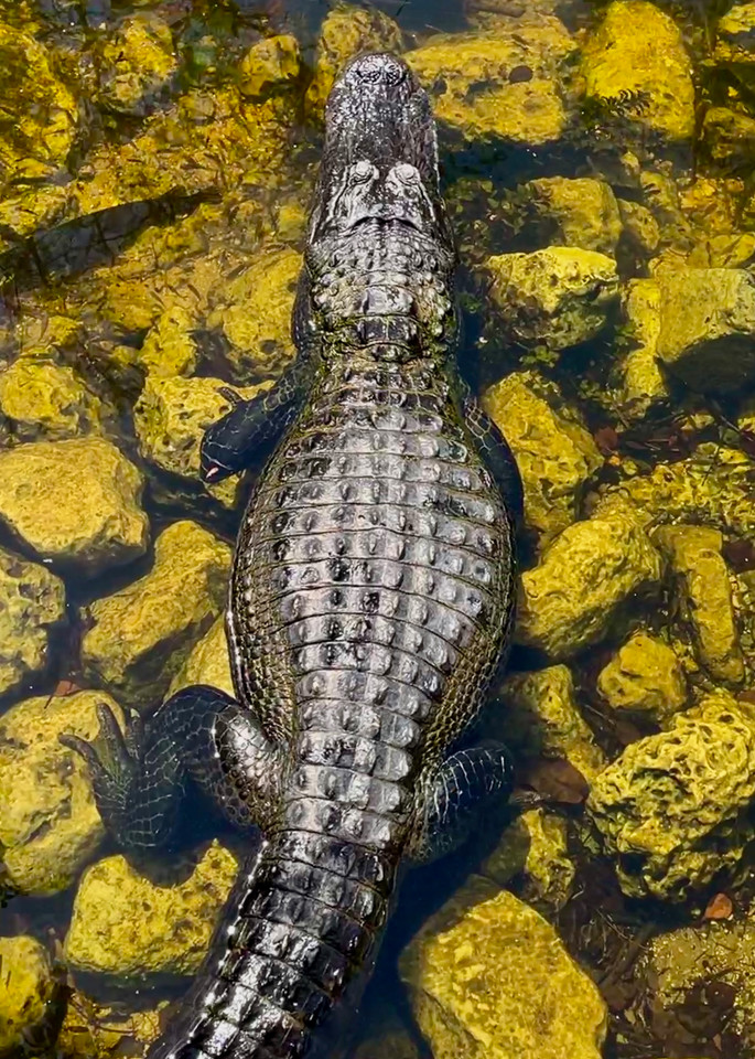 Golden Gator is a photograph of an alligator in South Florida by artist Muffy Clark GIll