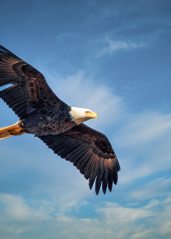 Bald Eagle Soars over Huntley Meadows