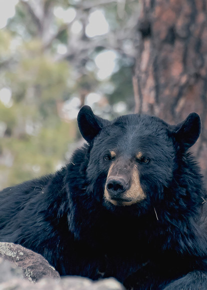 Black Bear Resting In Rocks  Photography Art   Great Wildlife Photos, LLC