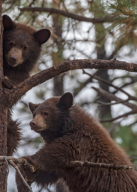 Two Black Bear Cubs In Tree  Photography Art | Great Wildlife Photos, LLC