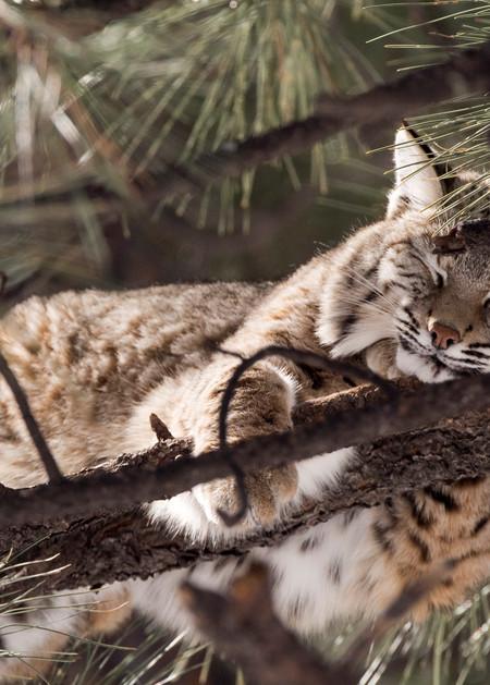 Bobcat Napping In Tree  Photography Art   Great Wildlife Photos, LLC