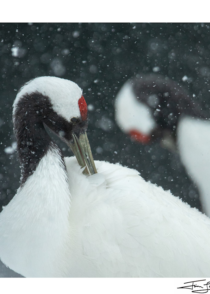 Preening In The Snow   Red Crowned Crane Pair Photography Art | Tim Laman