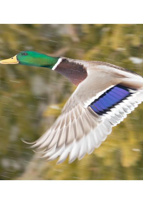 Flying Through The Snow   Mallard Photography Art   Tim Laman Photo