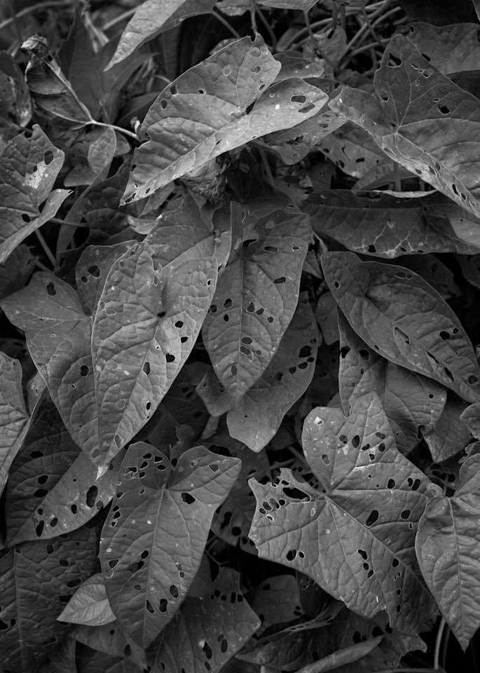 Morning Glory Leaves Photography Art | Rick Gardner Photography