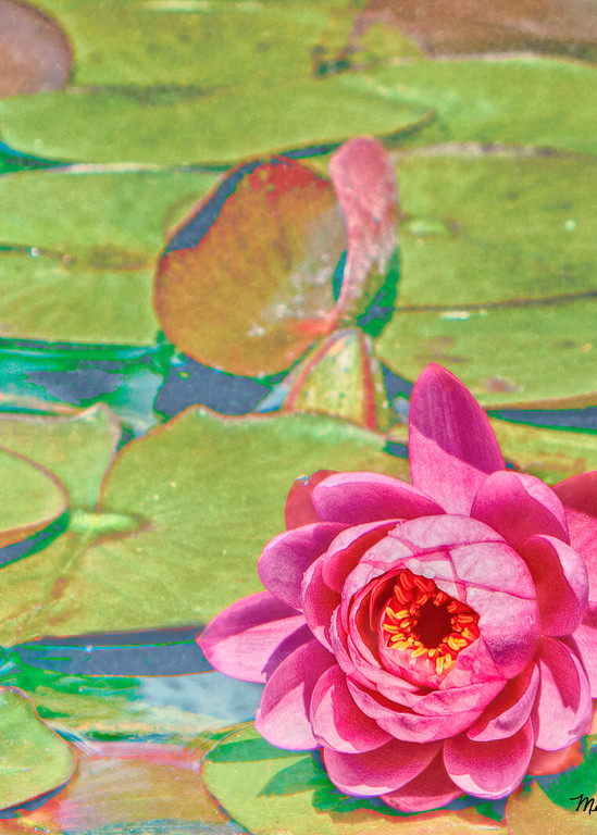 Lilly On A Lilly Pad Photography Art | Mindy Fine Art Photography
