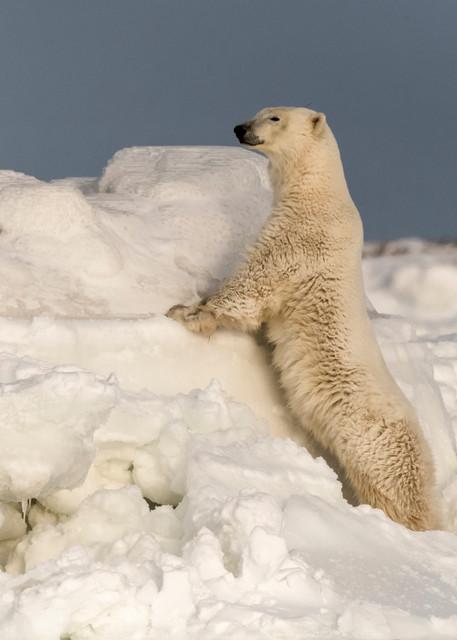 Polar Bear Looking Over Ice Flow Photography Art | Great Wildlife Photos, LLC