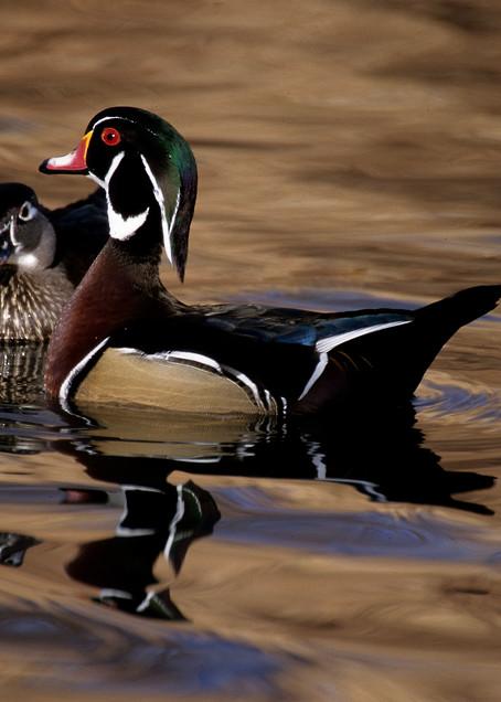 The Protector  (Wood Duck) Photography Art | Great Wildlife Photos, LLC