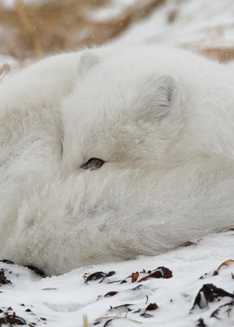 Arctic Fox Sleeping Photography Art | Great Wildlife Photos, LLC