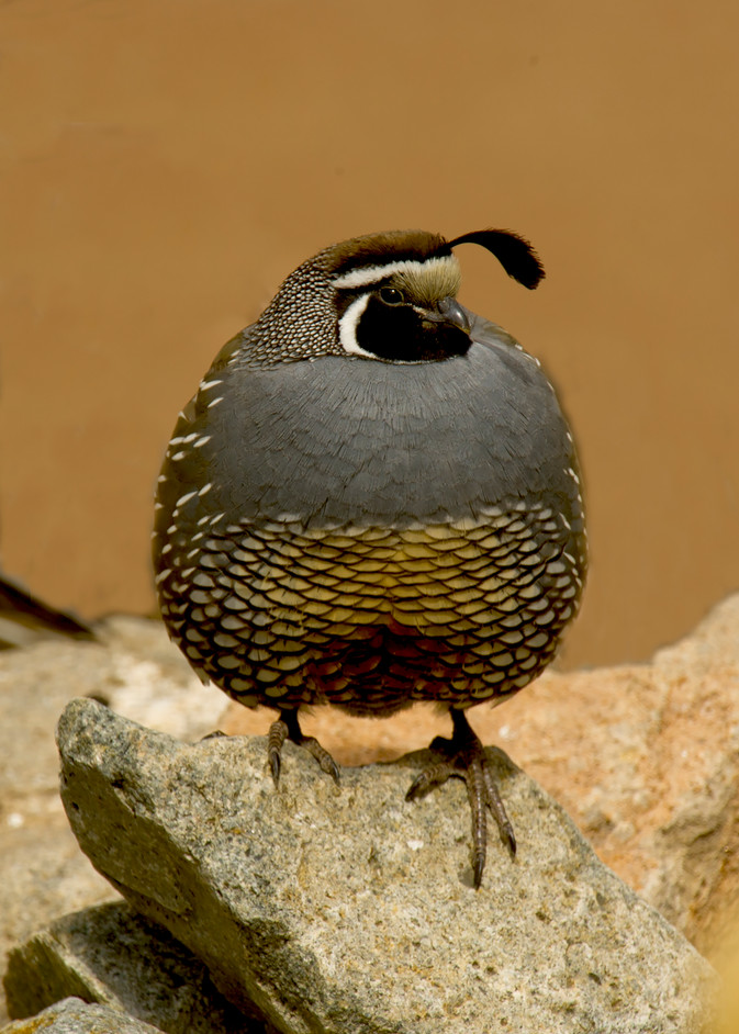 Quail Male Standing Proud Photography Art | Great Wildlife Photos, LLC