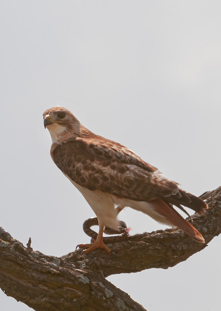 Red Tailed Hawk With Snake Photography Art | Great Wildlife Photos, LLC