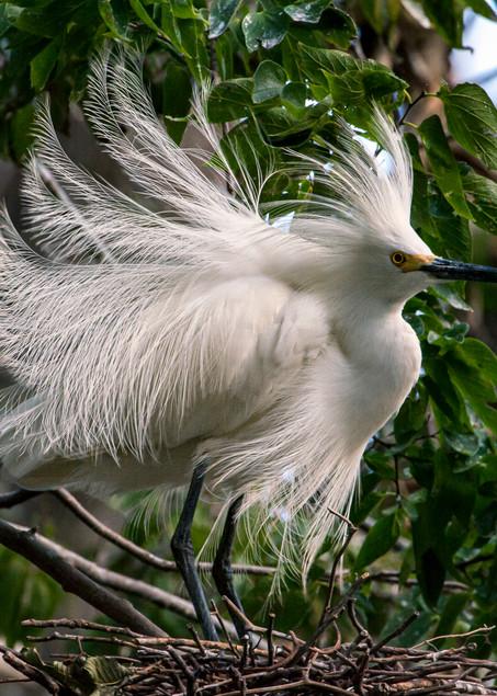 Snowy Egret Breeding Display Photography Art | Great Wildlife Photos, LLC