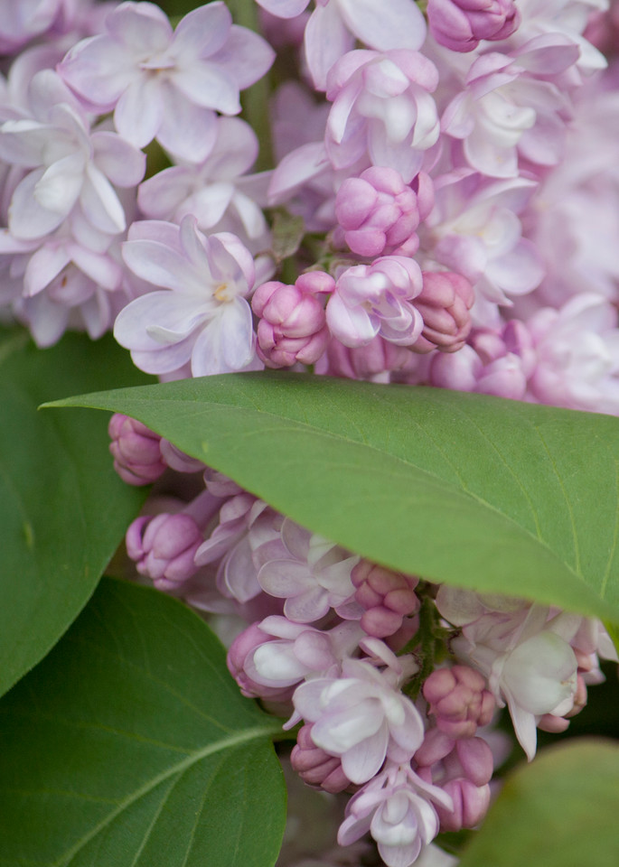 garden-tile, lilacs, flower, photo