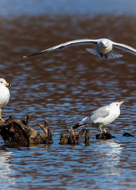 Gull Flyover