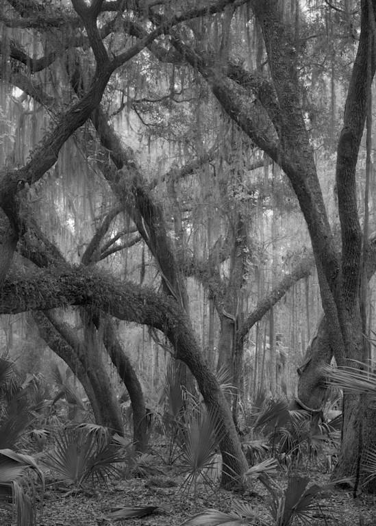 Grove Of Oak Trees, Ossabaw Island, Georgia Photography Art   Rick Gardner Photography