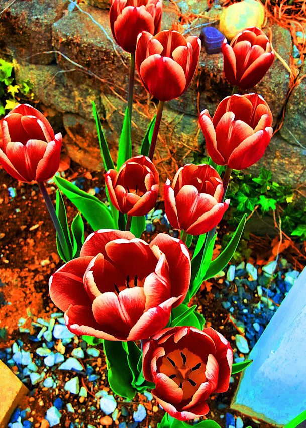 Saturated Striped Tulips - Prints Only