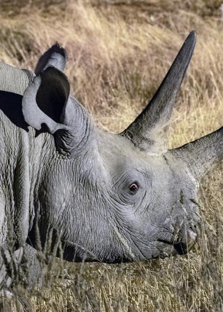 Black Rhino Face  Photography Art | Great Wildlife Photos, LLC