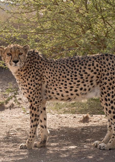 Cheetah Stare  Photography Art | Great Wildlife Photos, LLC