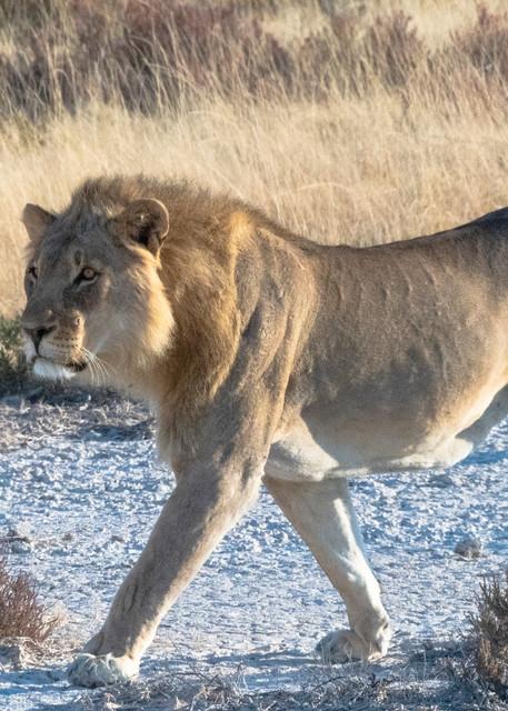 Lion Stalking  Photography Art | Great Wildlife Photos, LLC