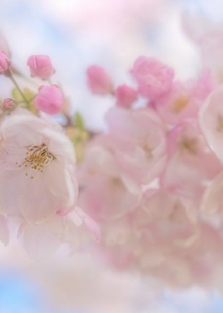 Cherry Blossoms Art | KJ's Studio