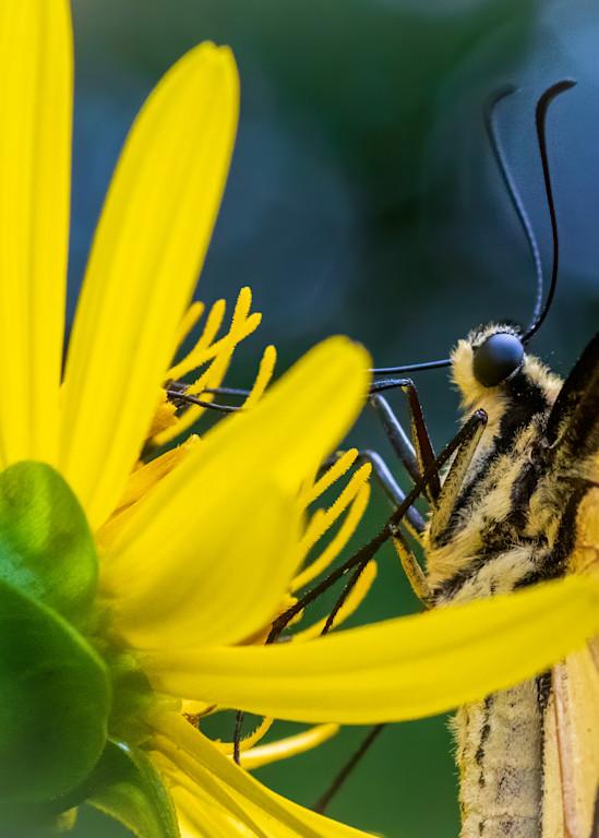 Tiger Swallowtail Gatheing Nectar - Side View Macro