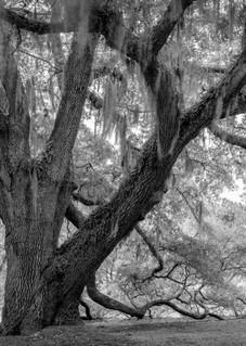 Seabrook Spreading Live Oak