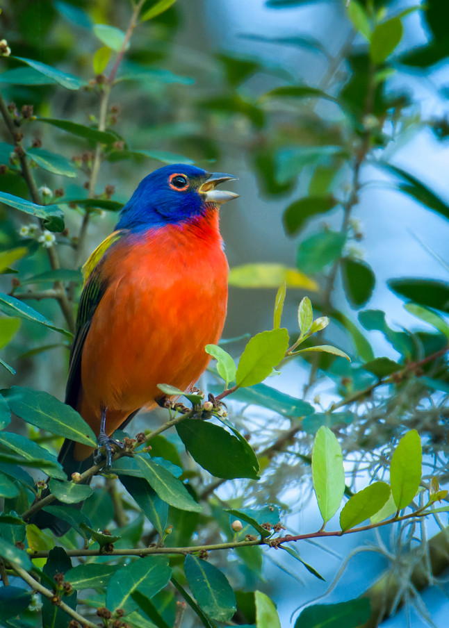 Male Painted Bunting Singing in a Bush