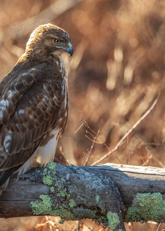 Juvvenile Red Tailed Hawk