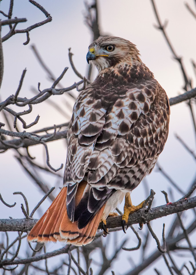Red Tail Hawk Looking Back Art | Michael Blanchard Inspirational Photography - Crossroads Gallery