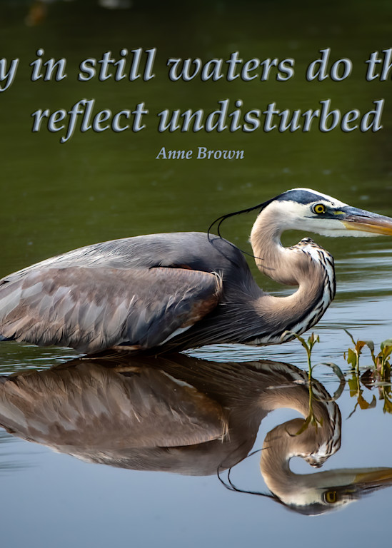 Only in still waters do things reflect undisturbed - Great Blue Heron