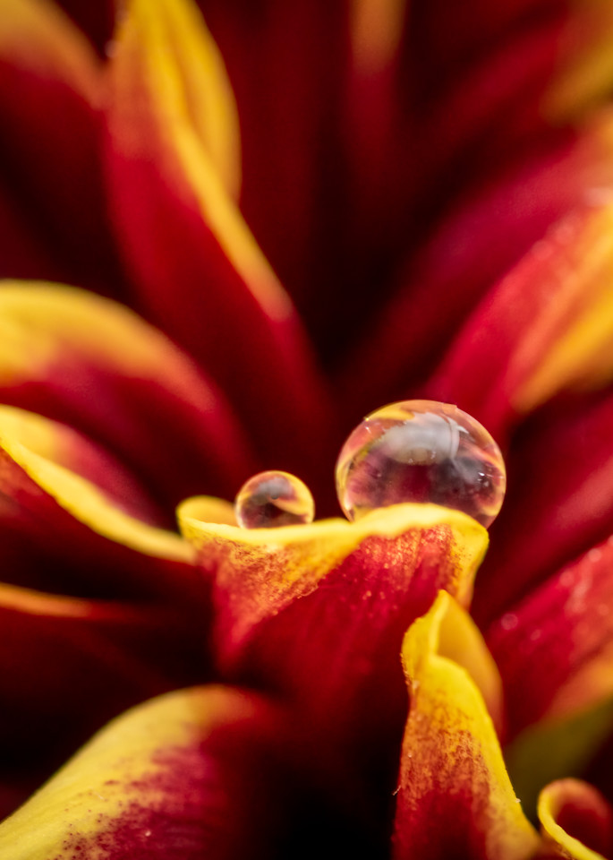 Water Droplet on Red and Yellow Flower