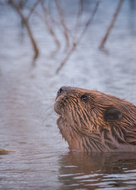 Beaver, Busy Photography Art | Monteux Gallery
