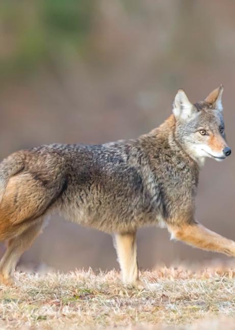 Coyote On The Run Art | Sarah E. Devlin Photography
