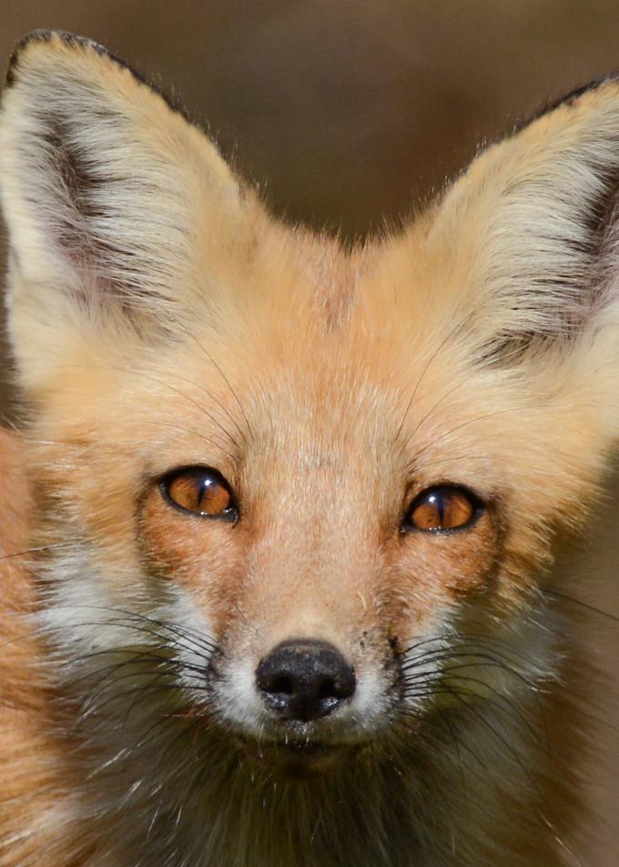 Fox Portrait Art   Sarah E. Devlin Photography