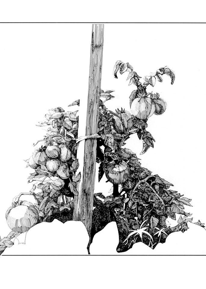 Tomato Plants Art | Andre Junget Illustration LLC