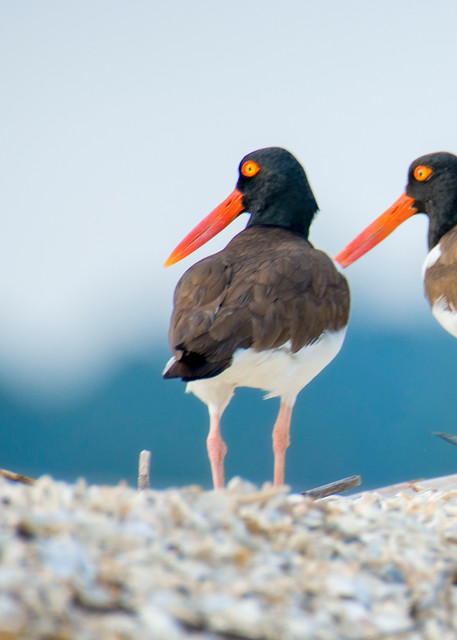 A Pair of American Oyster Catchers