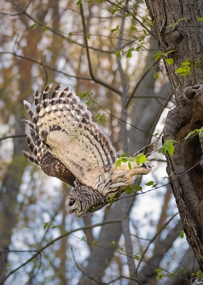 Barred Owl leaving the nest.