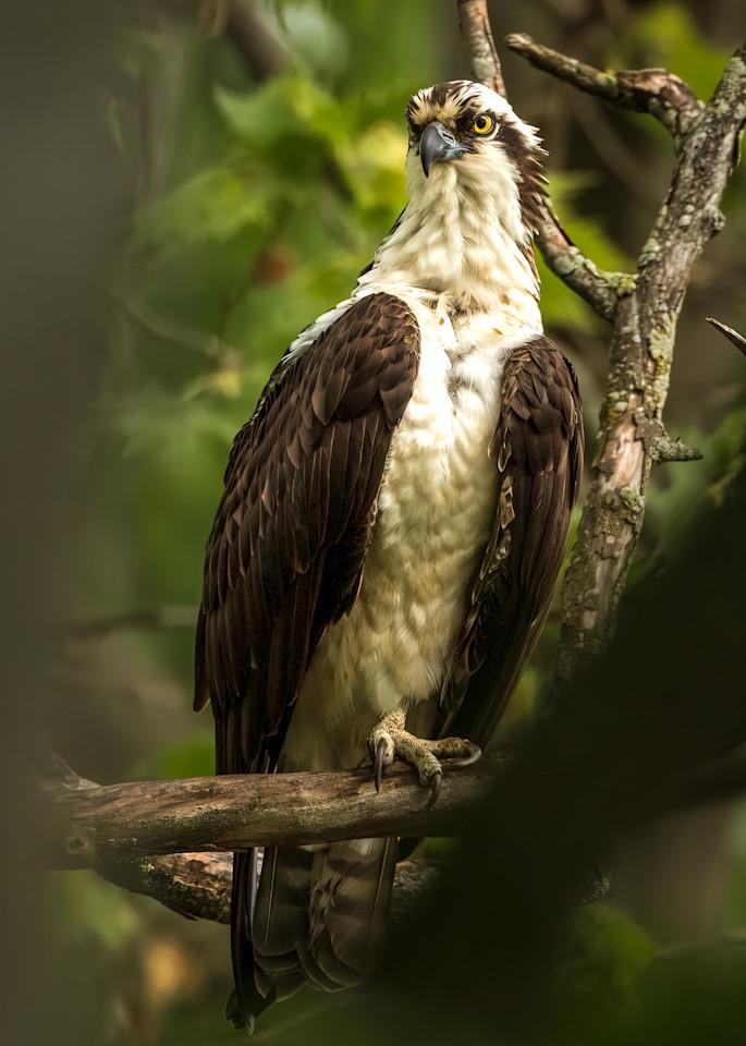 Male Osprey Through Branches