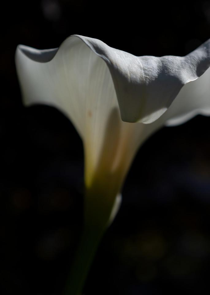 Calla Lily Photography Art | FocusPro Services, Inc.